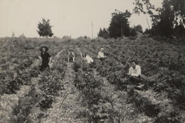 Strawberry pickers, Oldfield farm, 1946