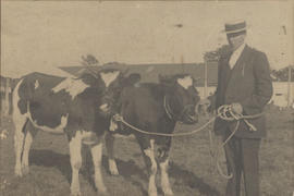 Arthur Longland with some of his cattle at Willows Exhibition, 1911