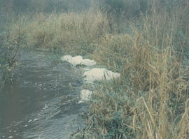 Foam on the banks of the Colquitz River