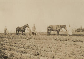 Potato farming on Ash Road, 1916