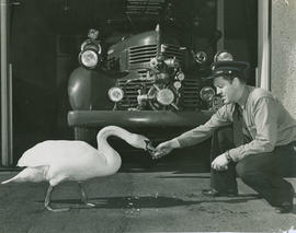 Fireman Bob Sproule feeding swan at Fire Hall