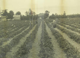 First Nations workers on a strawberry farm in Gordon Head [Vantreight farm?]