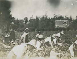 Barbara Hope (in foreground) picking strawberries in Gordon Head