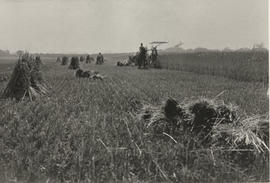 Borden farm, harvesting and stooking wheat sheaves