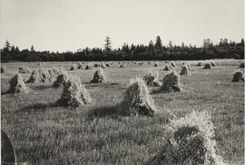 Wheat harvested and stooked on the Borden farm