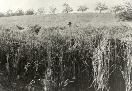 Fred Borden standing in the wheat on North Dairy farm