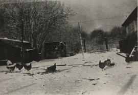 Snow-covered chicken run at Martin Mallett's farm
