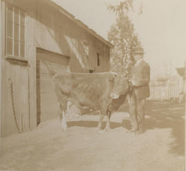 Mr Henderson with a cow, Carey Road