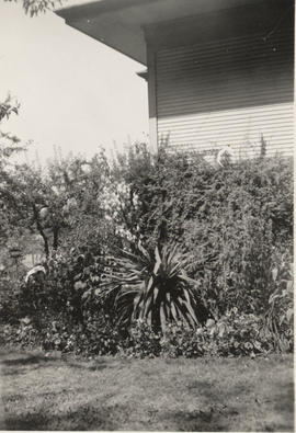 Yucca plant in the Henderson garden, Carey Road, 1941