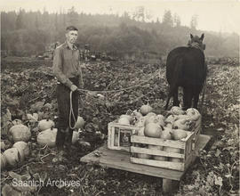 Bill Mattick harvesting pumpkins on his Cordova Bay farm