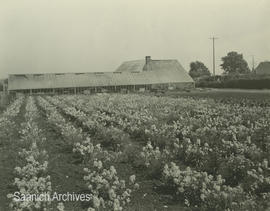Flowers for seed at Robinson Brothers seed farm, ca. 1945