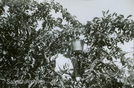 Muriel and Mary Comber picking cherries at the Holloway Farm