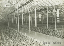 Interior of Young Brothers greenhouses on Shelbourne Street, 1955