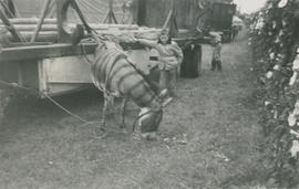 Leslie G. Underwood visiting the animals at the Clyde Beatty Circus