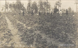 First Nations strawberry pickers on the Vantreight Farm, 1910