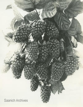 Cluster of loganberries, 1930s