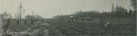 First Nations strawberry pickers on Vantreight farm, 1905