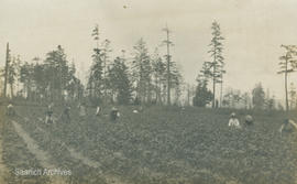 First Nations workers in Vantreight strawberry fields